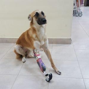 פרוטזה של ג'לי הכלבה