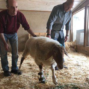 הסד של גרי הכבש